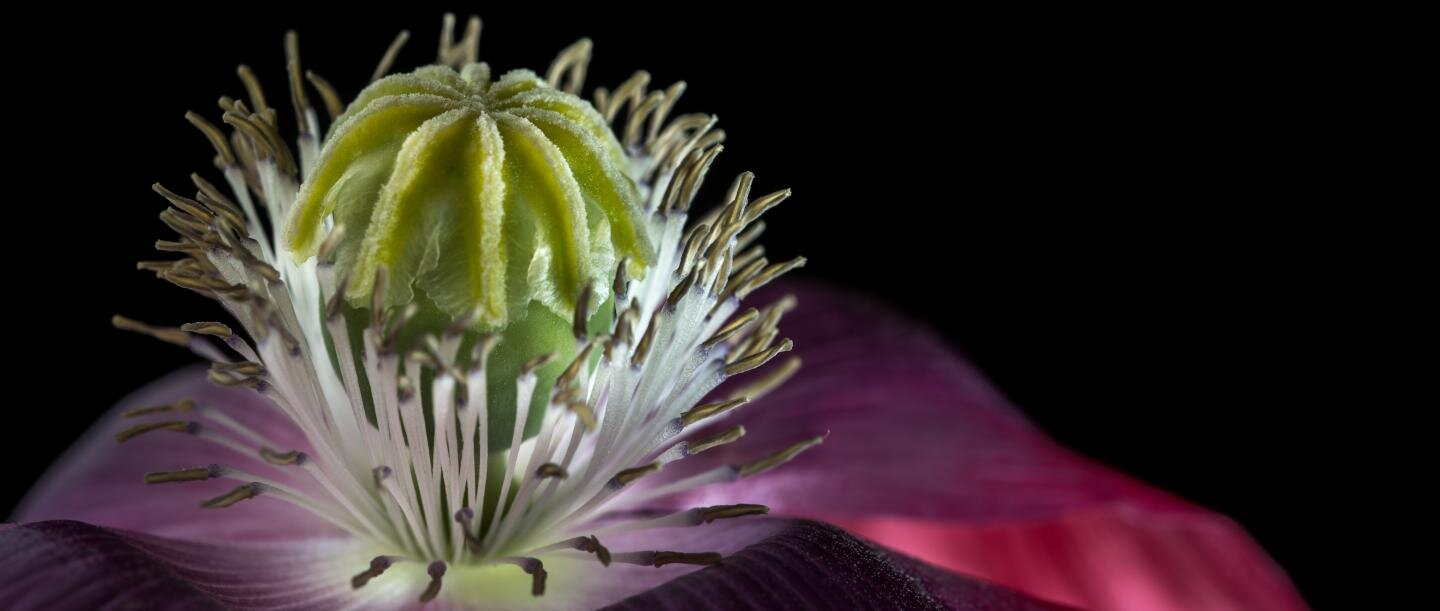 Swiss farmers contributed to the domestication of the opium poppy