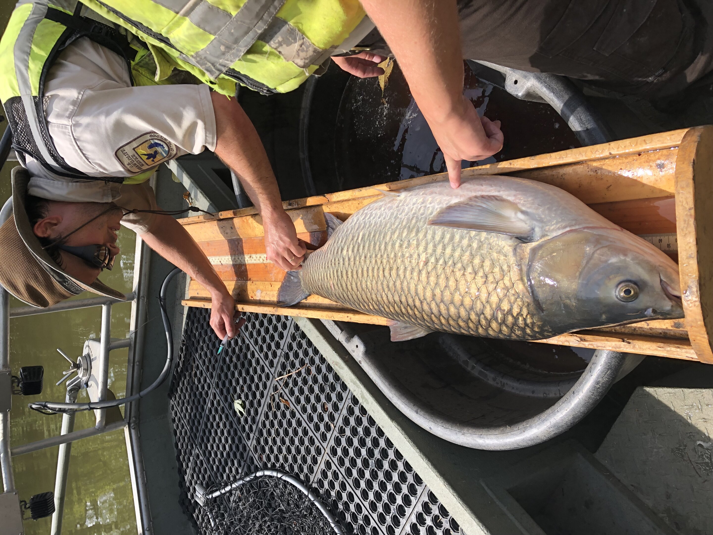 Tagged grass carp unknowingly betray their species