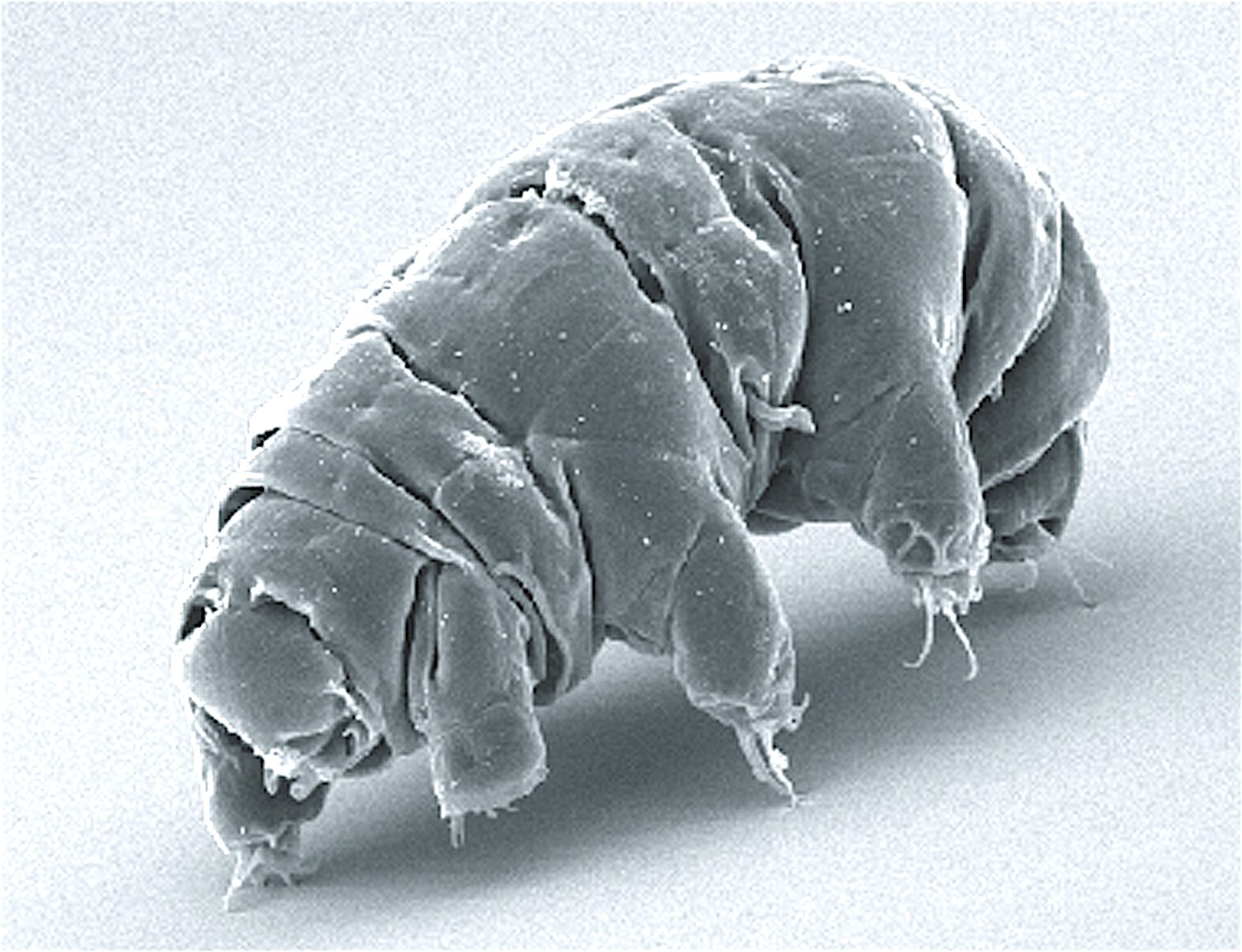 The physics behind a water bear's lumbering gait