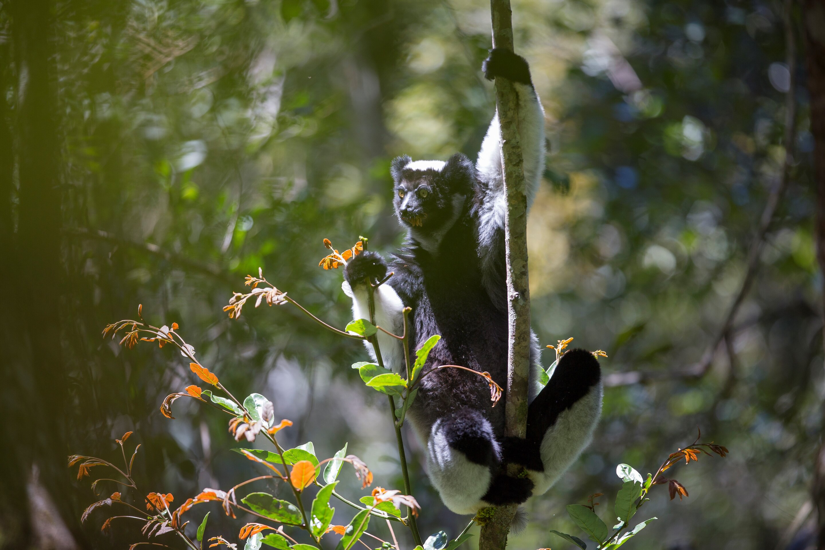 phys.org - Science X staff - Looking for musical abilities in primates