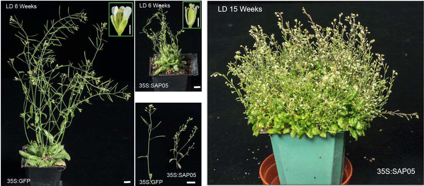 The microbial molecule that turns plants into zombies