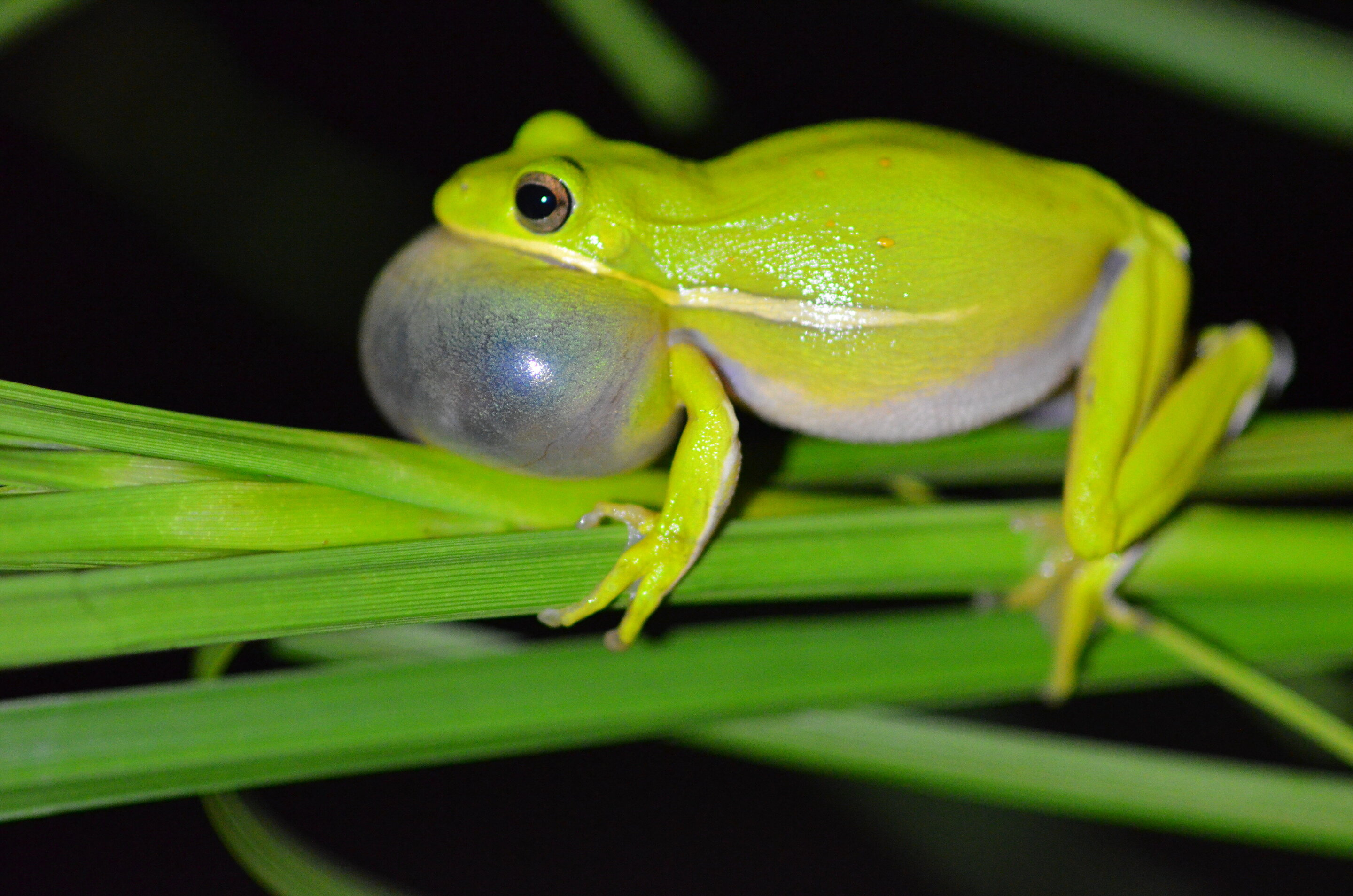 This frog has lungs that act like noise-canceling headphones, study shows