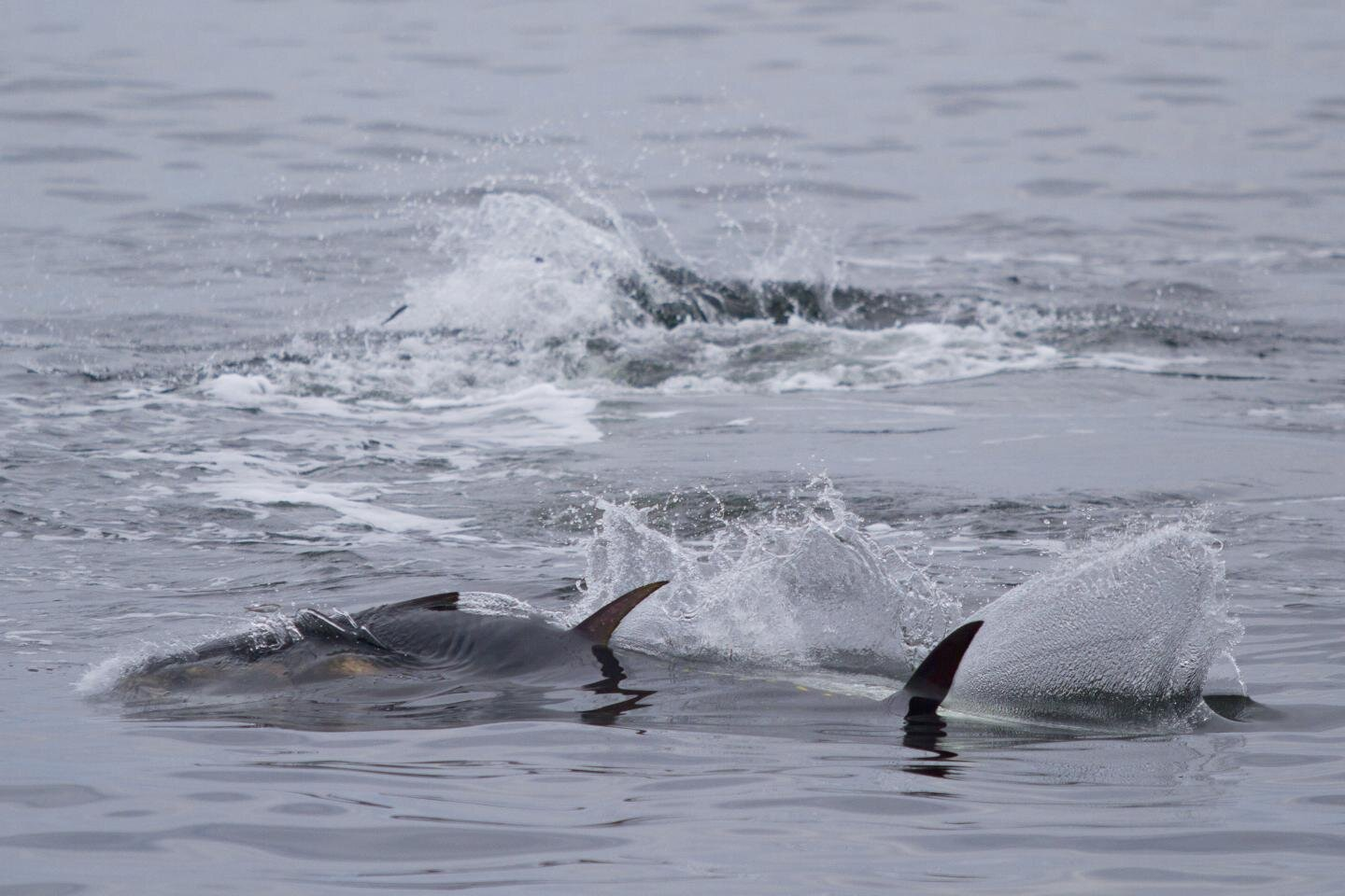 UK waters are home again to the bluefin tuna