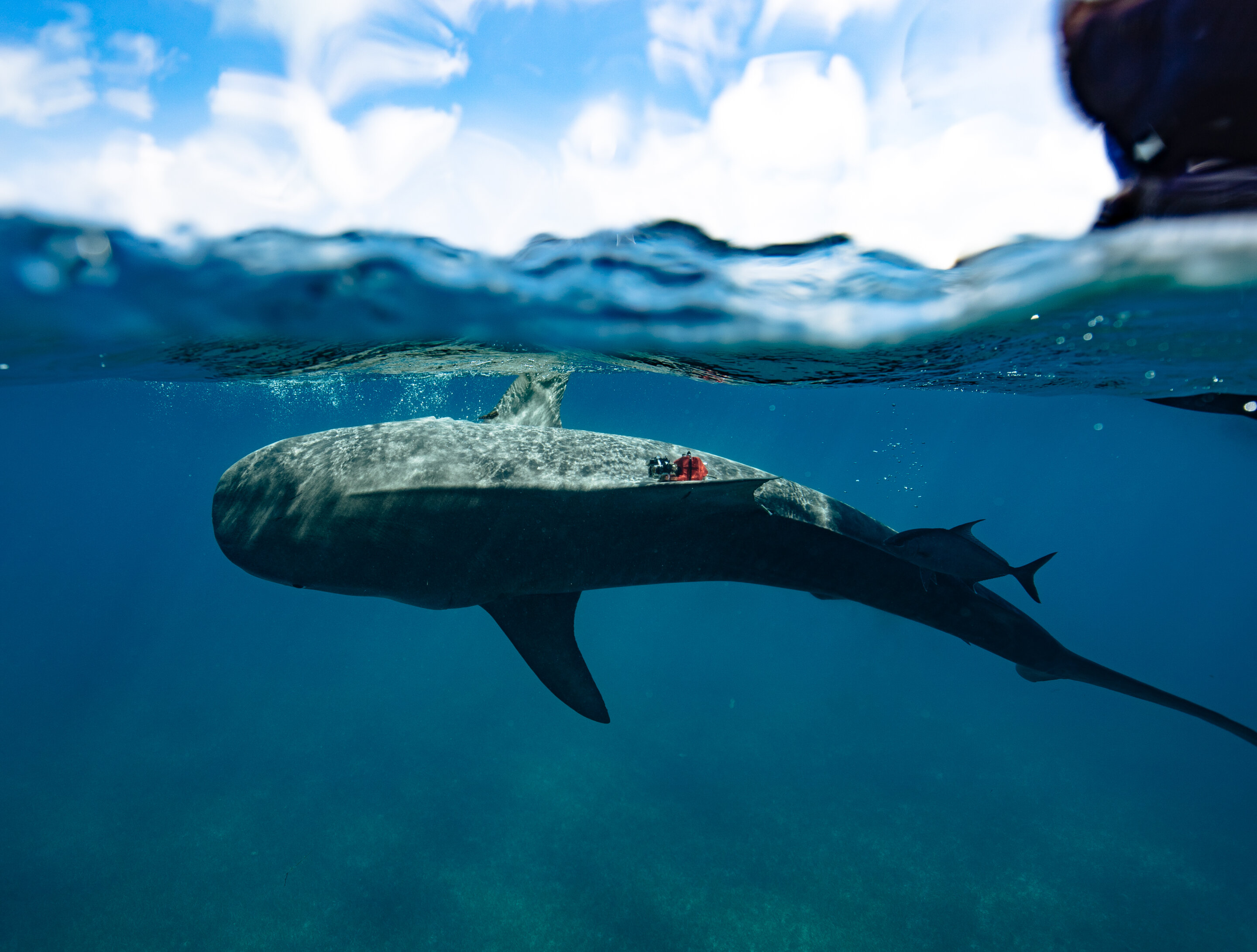Why are some fish warm-blooded? Predatory sharks gain speed advantage
