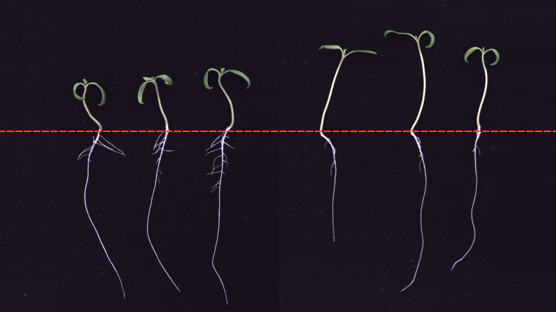 Why roots don't grow in the shade