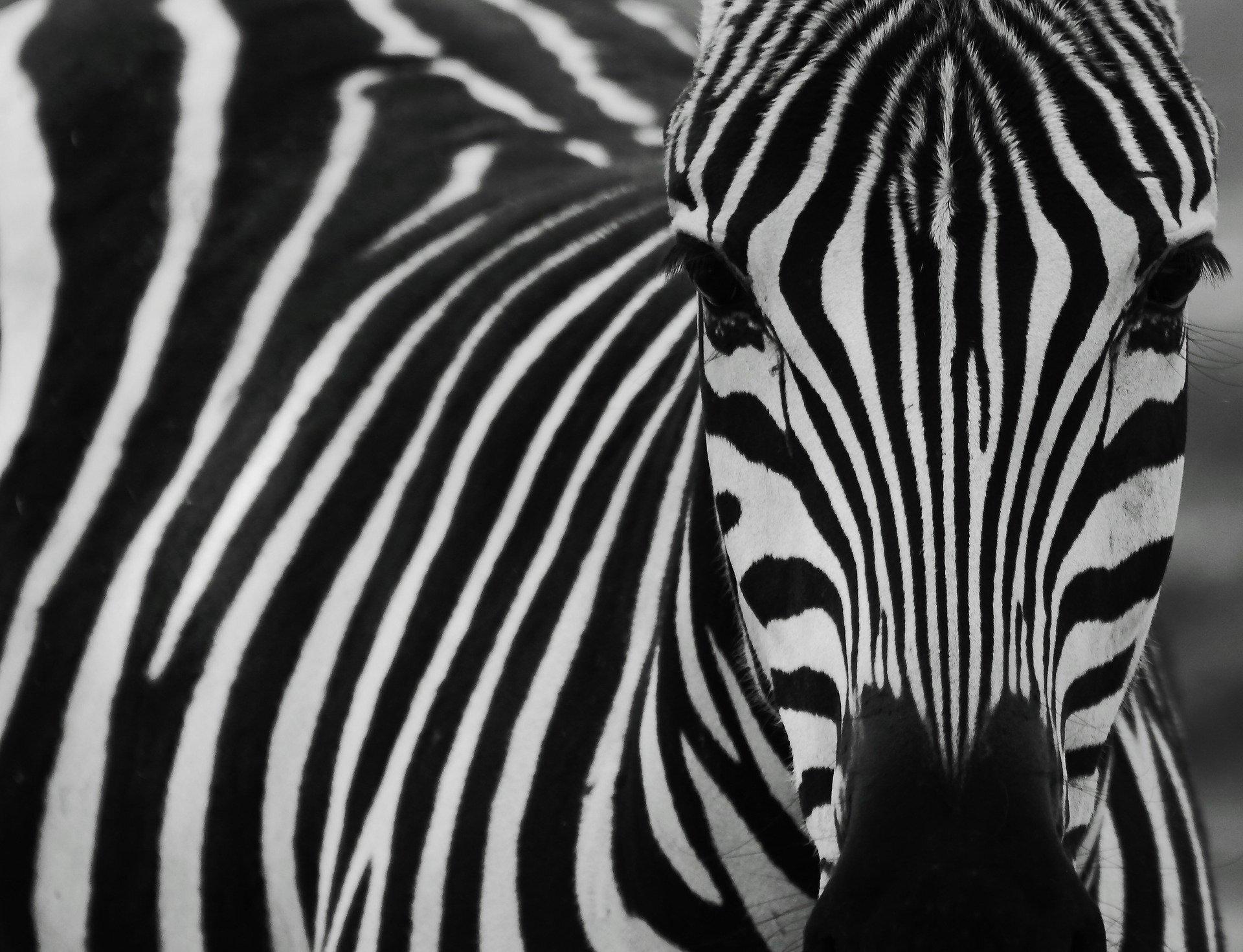 photo of Grey camouflage 'better than zebra stripes' image