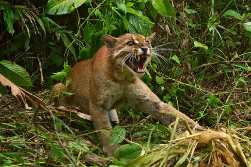 Malaysia Rescues Rare Golden Cat From Pot